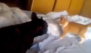 Этот котенок-борец с легкостью может положить бульдога на лопатки
