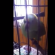 Когда в семье родился младенец, попугай «запел» по-другому!