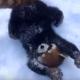Красные панды резвятся в снегу!