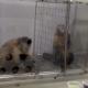 Что будет, если двум обезьянам несправедливо заплатить за работу?