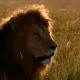 Лев решил приударить за молодой львицей, но что ему помешало?