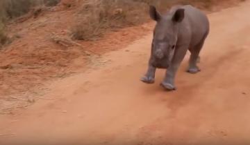 Детеныш носорога ведет себя, как собака!