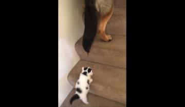 Немецкая овчарка помогла котенку взобраться по ступенькам