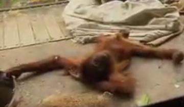 Орангутан удивил посетителей зоопарка