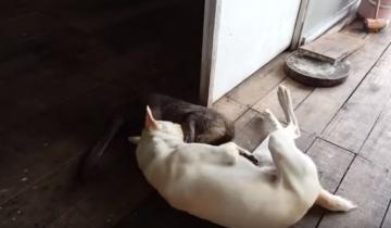 Выдра приходит в гости к собаке!
