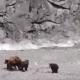 Медведица защищает своих медвежат от стаи волков