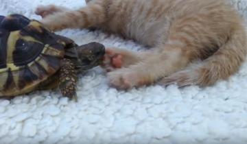 Черепаха и котенок: противостояние!