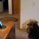 Собака очень скучала, и хозяин устроил для нее телефонный разговор