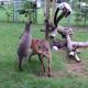 Кенгуру, лемур и собака: кто кого?