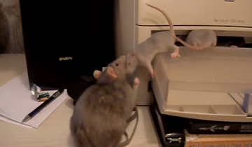 Крыса собирает своих детенышей и относит в клетку