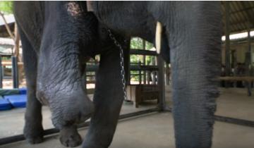 Как ходит слоненок, потерявший одну ногу?