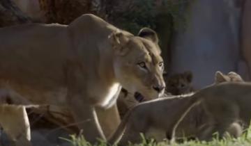 Первое знакомство львят со своим отцом
