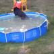 Медведи пришли освежиться в нашем бассейне!