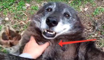Серый волчок, обожает, когда ему чешут бочок