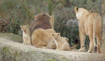 Львята впервые знакомятся с отцом