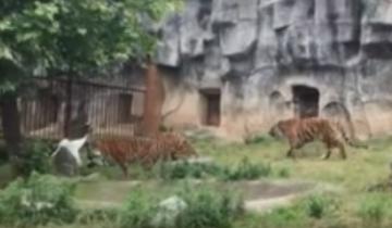 Журавль залетел в вольер к тиграм