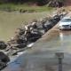 Забавный момент, когда крокодил остановил движение на дороге!