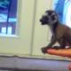 Маленький лемур учится прыгать