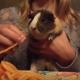Вы будете очарованы тем, как эта морская свинка ест спагетти!