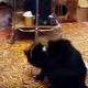 Этот горностай жутко замучил кота