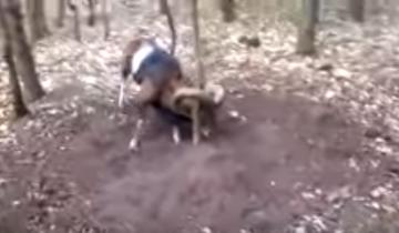 Невероятное спасение муфлона из ловушки!