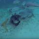 Акула-нянька и скат соперничают друг с другом
