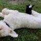 Маленький козленок перелезает через собаку, сплошное удовольствие!