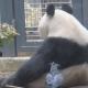 Вороны «воруют» шерсть у панды для своего гнезда