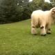 Самый милый валлийский барашек в мире!