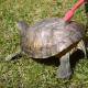 Он решил почистить черепаху