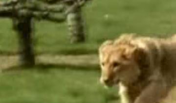 Они вырастили льва и отпустили его на волю