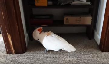 Они сказали своему попугаю, что надо идти к ветеринару…
