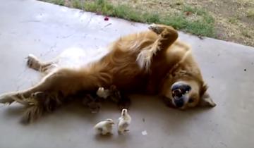 Эта собака стала нянькой для цыплят!