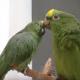 Эти харизматичные попугаи могли бы стать звездами испанской эстрады