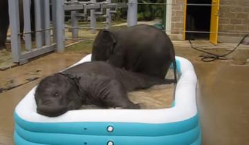 Слонята так забавно купаются в бассейне, что серьезным не останется никто!