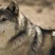 Эти волки изменили течение реки