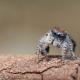 Брачный танец невероятно красивого паука-павлина точно покорит любого!
