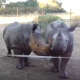 Вы будете удивлены, когда услышите, какие звуки издает детеныш носорога!