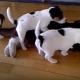 4 щенка набросились на одного кота