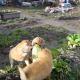 Щенки безжалостно атакуют капусту на грядке!