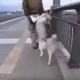 Про ездовых собак я слышала, а вот про ездовых людей …