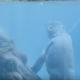 Крохотный гиппопотам учится плавать под присмотром мамы