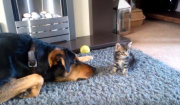 Этот пес умоляет котенка поиграть с ним