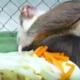 Ленивец кушает лежа