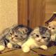 Милые котята заразительно зевают друг за другом