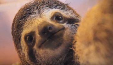 Ленивец обожает делать селфи