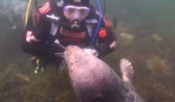 Аквалангист опустился под воду, чтобы почесать пузико тюленю