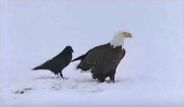 Каждый день этот ворон ловил рыбу на удочку!