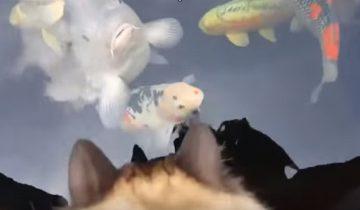 Кошка породы рэгдолл целует рыбку кои!
