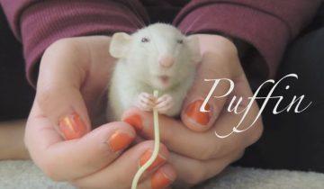 Что делает эта крыса, когда хозяйка чихает? Это невероятно!